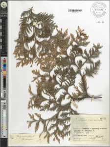 Thuja occidentalis L. variegatis