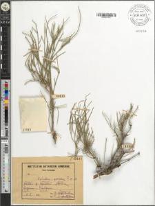 Ephedra procera F. et M.