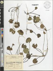 Hydrocharis morsus-ranae L.