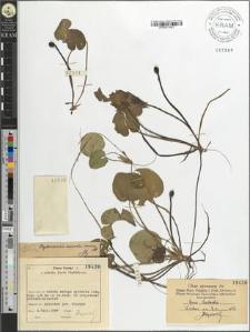 Hydrocharis morsus ranae L.