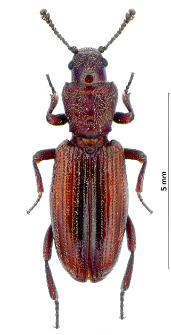 Bothrideres bipunctatus (J.F. Gmelin, 1790)