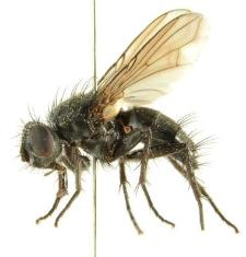 Rhinomorinia sarcophagina (Schiner, 1862)
