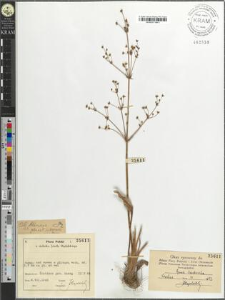 Alisma plantago aquatica
