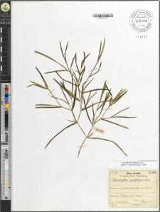 Potamogeton acutifolius Link