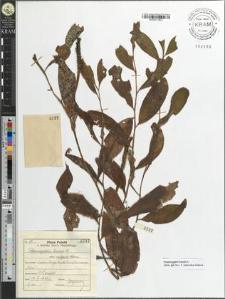 Potamogeton lucens L. var. vulgaris Cham.