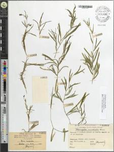 Potamogeton mucronatus Schrad.