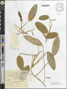 Potamogeton natans L. fo. vulgaris Koch