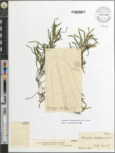 Potamogeton obtusifolius Mert & Koch.