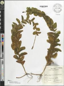 Potamogeton perfoliatus L.