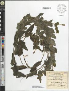 Potamogeton perfoliatus L. fo. typicus Tiselius