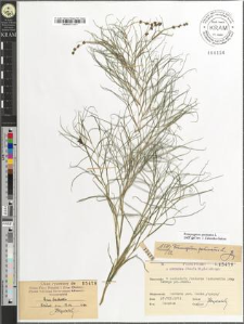 Potamogeton pectinatus L.