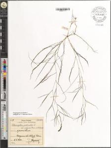 Potamogeton pectinatus L. var. vulgaris Cham. et Schlecht.