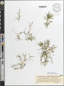 Potamogeton pusillus L.