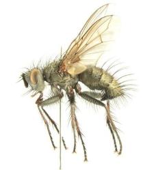 Campylocheta mariae Bystrowski, 2001