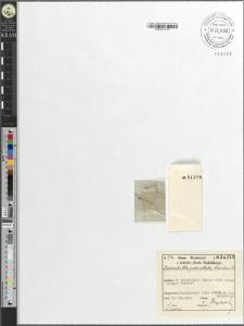 Zannichellia pedicellata (Whlb. et Rosen) Fr.