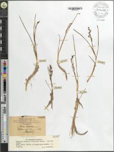 Scheuchzeria palustris L.