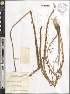 Triglochin maritimum L.