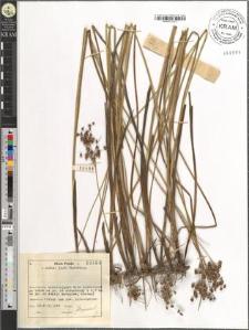 Juncus acutiflorus Ehrh.