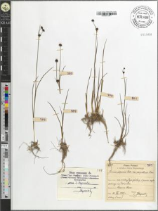 Juncus alpinus Vill. var. carpaticus Sim.