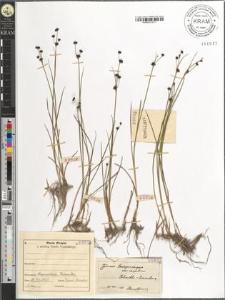 Juncus lamprocarpus var. carpaticus