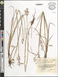 Juncus lamprocarpus Ehrh.