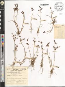 Juncus lamprocarpus var. typicus (A. et G.) Schinz
