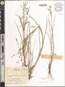 Juncus articulatus L. emend. K. Richt.