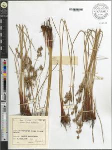 Juncus balticus Willd.