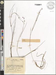 Juncus bulbosus L.