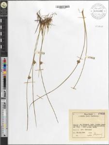 Juncus filiformis L.