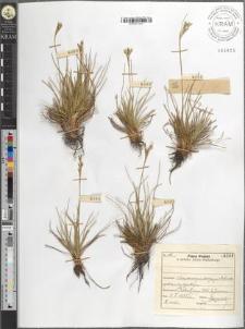 Juncus squarrosus L.