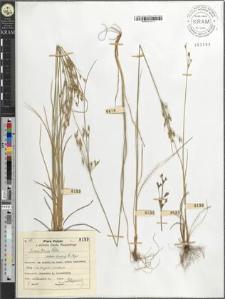 Juncus tenuis Willd. bicornis E. Meyer