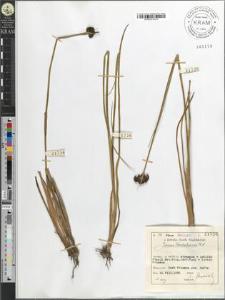 Juncus Rochelianus R. S.