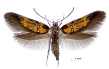 Schiffermuelleria schaefferella (Linnaeus, 1758)