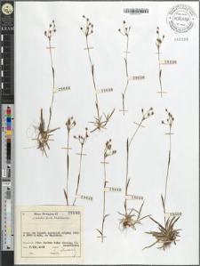 Luzula flavescens