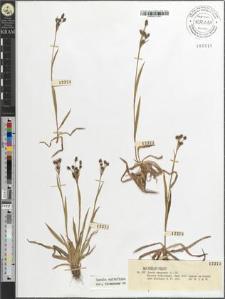 Luzula campestris (L.) Dl.