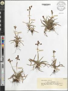 Luzula campestris (L.) D. C.
