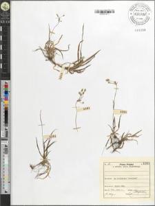 Luzula luzulina (Will.) Dalla Torre & Sarnth.
