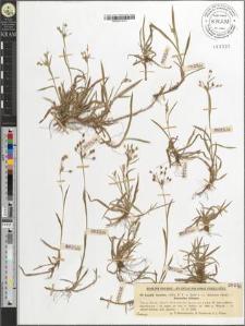 Luzula luzulina (Vill.) D. T. et Sarnt.