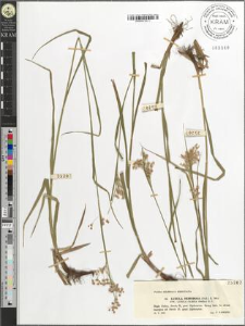 Luzula nemorosa (Poll.) E. Mey