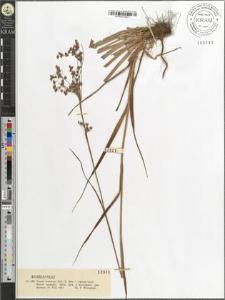 Luzula nemorosa (Poll.) E. Mey. var. rubella Gaud.