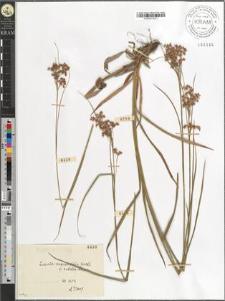 Luzula angustifolia [?]Garcke var. rubella Hoppe