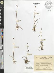 Luzula sudetica (Willd.) DC.