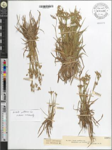 Luzula multiflora Lej.