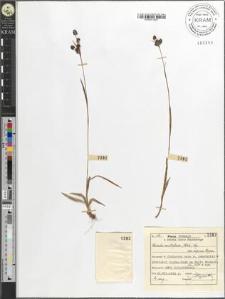 Luzula multiflora (Ehrh.) Lej. var. alpina Hoppe