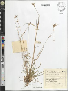 Luzula pallescens (Wahlb.) Bess.