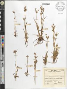 Luzula multiflora (Retz.) Lej.