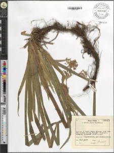 Luzula sylvatica (Huds.) Gaudin