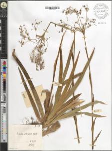 Luzula silvatica Gaud.