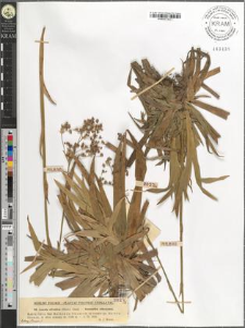 Luzula silvatica (Huds.) Gaud.